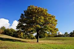 The Oak (Franco Vannini) Tags: madonnadelfaggio tuscany toscana beech oak faggio quercia autunno