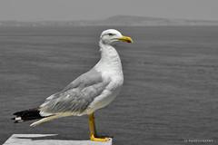 The Boss (SteveJ442) Tags: gull seagull bird italy sorrento bw mono spotcolor spotcolour nature nikon vesuvius water yellow