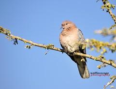 WCC_9235- Lauging Dove (biohazard_) Tags: pigeon laugingdove dove brownbird africanbird nature africa wildlife animals gaborone botswana