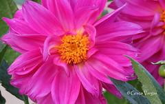 aster ( Graa Vargas ) Tags: graavargas 2016graavargasallrightsreserved flower aster asteraceae pink