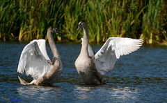 Mute Swan cygnets. (spw6156 - Over 5,124,370 Views) Tags: mute swan cygnets iso 640cropped copyright steve waterhouse summerwatch