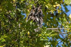 Mon week-end d'action de grâces! (1) (Roy Yves) Tags: yvesroy grandducdamérique hibou greathornedowl owl