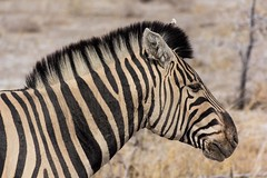 Cebra (Carlos Gaiteiro) Tags: namibia namib etosha animal wildlife cebra zebra rayado striped mamífero