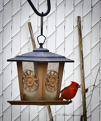 IMG_3659-1 (Helene Bassaraba) Tags: oiseau cardinal