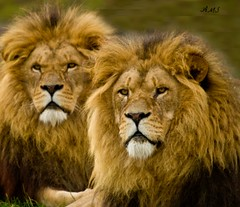 Lions (A>M>S) Tags: pentax ams lyons animals bigcats