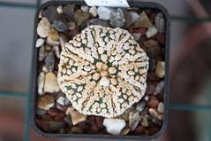 Astrophytum superkabuto (douneika) Tags: astrophytum superkabuto cactaceae