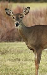 Whitetail Deer (jdawn1982) Tags: deer whitetaileddeer whitetail doe fawn woodwardok woodwardcounty oklahoma october2016 project365