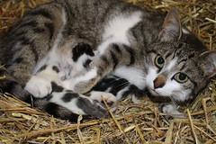 love for her kittens (excellentzebu1050) Tags: closeup kittenscatjune2016 cat kittens newlife newborn indoors farm pet animal animals animalportraits coth5