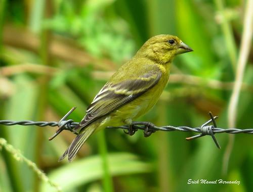 "Semillero Dominico Hembra/ Lesser Goldfinch ""Spinus psaltria"""