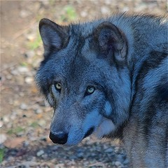 Timber Wolf Stare (Jeannot7) Tags: timberwolf graywolf wolf parcomega montebello qubec
