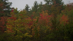 Local Marsh First Fall Color - IMGP6481 (catchesthelight) Tags: trees fall foliage fallfoliage leaves colorchange marsh marshmaples nh autumncolors autumn