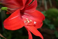 15-053-zweite%2520Serie%2520015-002 (hemingwayfoto) Tags: amaryllis blã¼te blã¼tenblatt blã¼tenstaub blã¼tenstempel blume blumen blumenhandel blumenzucht bunt flora gã¤rtner macroaufnahme natur pflanze rot topfblume topfpflanze zucht zwiebelblume zwiebelpflanze
