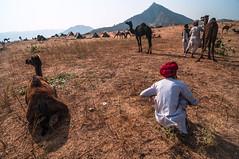 (ayashok photography) Tags: rangderajasthan nikon ayashok ayashokphotography nikond300 nikond700 nikkor24120mmvr rajasthan pushkar camelfair camels market india rajastan rajasthani aya0623