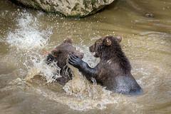 Beren03-6990 (Esther van Rooijen) Tags: bayerischerwald animals wildlife