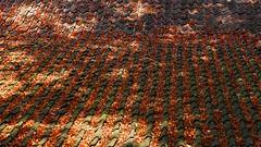 Autumn/ Herfst (jo.misere) Tags: daken roof bladeren leafs herfst autumn pannen rooftiles rood bruin red brown