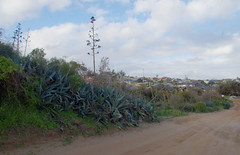 Agave americana, Southgate Beach, Geraldton, WA, 27/08/16 (Russell Cumming) Tags: plant weed agave agaveamericana asparagaceae southgatebeach geraldton westernaustralia