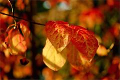 autumn leaves........... (atsjebosma) Tags: macro colours autumncolours herfstkleuren herfst autumn october leaves bladeren atsjebosma groningen thenetherlands 2016 sun sunlight zonlicht bokeh ngc npc coth5