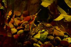 Seahorse SeaHell (godpasta) Tags: newportaquarium kentucky newport aquarium