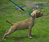 Straining To Be Free (swong95765) Tags: dog puppy leash collar strain desire want animal cute