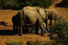 DSC03814 (Emily Hanley Photography) Tags: elephant elephants addo elephantpark nationalpark sa southafrica africa photography colour warthogs buffalo zebra waterhole rawimages raw nature naturalphotography animals animal