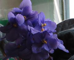 3-IMG_1530 (hemingwayfoto) Tags: balkon blhen blte blau blume floristik macro natur topfpflanze usambaraveilchen zierpflanze zuchtform