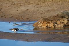 """If I tip-toe past she may not wake!"" (robin denton) Tags: turnstone bird seals seal greyseal animal nature lwt lincolnshirewildlifetrust wildlifetrust donnanook wildlife halichoerusgrypus"