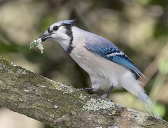 Blue Jay Eating (ruthpphoto) Tags: jay bluejay