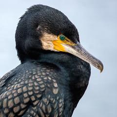 Great Cormorant (OzzRod) Tags: pentax k3 smcpentaxf300mmf45 birds cormorant shag greatcormorant bermagui australia