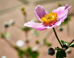 Potawatomi Inn Flowers, Pokagon State Park (svandagr) Tags: flowers floral wildflowers nature flora park trail hike pokagonstatepark indiana outdoor summer indianastateparks statepark flower