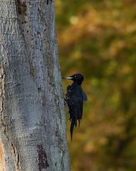 Black woodpecker (Jens Hyldstrup Larsen) Tags: sortspætte blackwoodpecker dryocopusmartius spættefugle piciformes spætter picidae