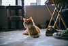 Mr Curious {Explored} (SGPhotography77) Tags: vsco lookslikefilm naturallight windowlight nikon d600 35mm sigma cat samwell ginger gingercat photographersontumblr photography chucks converse