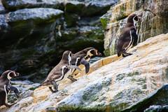 Chile 2013-3732 (sebtac) Tags: chile2013 chile 2013 outdoor 13 reserva nacional pingüino de humboldt