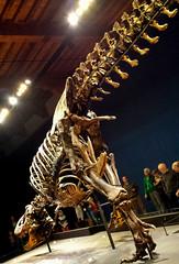 20161206_120630 (durr-architect) Tags: tyrannosaurus rex trex town skeleton naturalis nature museum leiden exhibition fossil consevation carnivorous dinosaur montana black hills institute