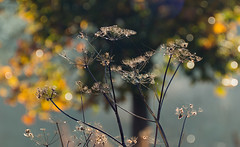 autumn weed bokeh... (petegatehouse) Tags: weed bokeh brightsunlight sunshine intothesun autumn autumncolour mistyeffect cobweb silk yellow silver bright endofcycle deadweed frostymorning
