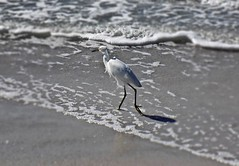 The Beahcomber (BlueisCoool) Tags: flickr foto photo image capture picture photography nikon coolpic l330 egret bird blue water sea ocean beach sand outdoor nature florida thebeach indiarocksbeachflorida