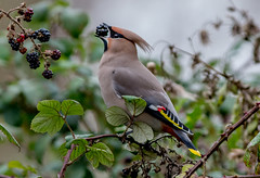 DSC1247  Waxwing.. (jefflack Wildlife&Nature) Tags: waxwing waxwings birds avian wildlife wildbirds woodlands hedgerows heathland meadows countryside berries trees parks parklands wintermigrant nature