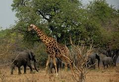 Elephants passing a Giraffe (Chobe N.P.) (stevelamb007) Tags: elephants giraffe botswana stevelamb nikon africa africanwildlife d70s
