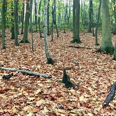 Red oak ( Georgie R) Tags: redoak tilgate crawley sussex