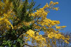 L'arbre-aux-deux-couleurs (RS...) Tags: arbre tree jaune vert bleu yellow green blue d300 provence automne autumn