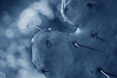 blue spikes (mariola aga) Tags: cactus closeup spikes bokeh blue tint art light shadows thegalaxy