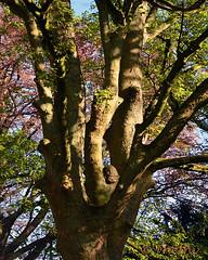 140410 apJ 161113  Ththi ( 6 pics ) (thethi: pls read the 1st comment :-)) Tags: nature arbre printemps posie julos beaucarne jodoigne brabant wallonie belgique belgium setavril setvegetaux bestof2014 faves45