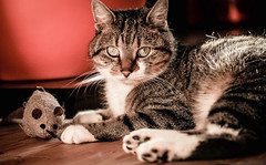 Just chilling with my mouse (NikNak Allen) Tags: cat pet animal light low toy portrait silver tabby paws face eyes years nose whiskers fur relaxing