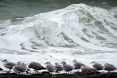 Golven (Omroep Zeeland) Tags: zeedijk westkapelle meeuwen