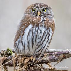 0.0 (mLichy911) Tags: pygmyowl owl owls wild wildlife nature pnw wa seattle canon tamron 150600 throwback winter cold tiny powerhouse raptor igotmyeyeonyou bird fuzzy