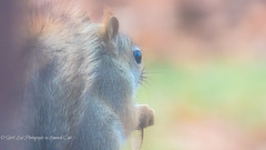 Is It Any Wonder- (1 of 1) (amndcook) Tags: michigan outdoors amandacook animal autumn fall nature photo photograph redsquirrel season spiritledphotography thanksgiving wildlife