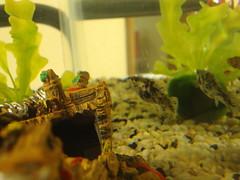 Dalmatian Molly. (dccradio) Tags: lumberton nc northcarolina robesoncounty aquarium tengallon fishtank fish swim swimming ship shipwreck ornament plastic plants plasticplant dalmatianmolly