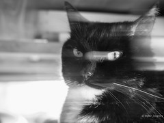 Attitude is a little thing that makes a big difference (Peter Jaspers) Tags: frompeterj 2016 olympus zuiko omd em10 1240mm28 cat pet kat luna rascall ondeugend home portrait eyes bw zwartwit blackwhite blackandwhite whiskers icm intentionalcameramovement