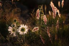 Glow (mclcbooks) Tags: flower flowers floral grass grasses backlit backlighting backlight denverbotanicgardens colorado