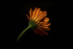 Marigold (PhilDL) Tags: marigold flower stark colour colours color colors silhouette closeup macro lightshade shades