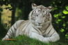 I´m watching you (Noodles Photo) Tags: whitebengaltiger pantheratigristigris whitetiger tiger zoooverloon bengalischertiger carnivora säugetier raubtier katze groskatze felidae